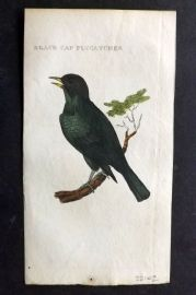 Brightly (Pub) 1815 Hand Col Bird Print. Black Cap Flycatcher